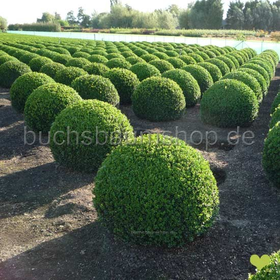 buchsbaum kugel buchsbaumkugel 80cm 90cm buchskugel buchs buxbaumkugel buxbaum buxus kugeln. Black Bedroom Furniture Sets. Home Design Ideas