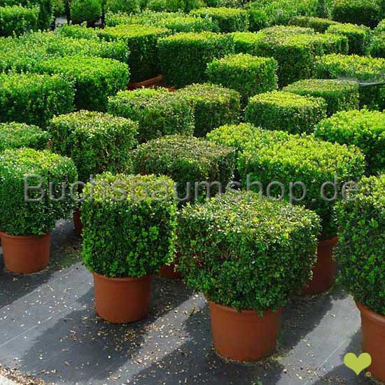 hecke schneiden nrw gartenarbeit im juni hecke schneiden hecke schneiden anleitung und. Black Bedroom Furniture Sets. Home Design Ideas