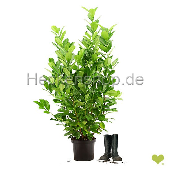 prunus laurocerasus rotundifolia kirschlorbeer. Black Bedroom Furniture Sets. Home Design Ideas