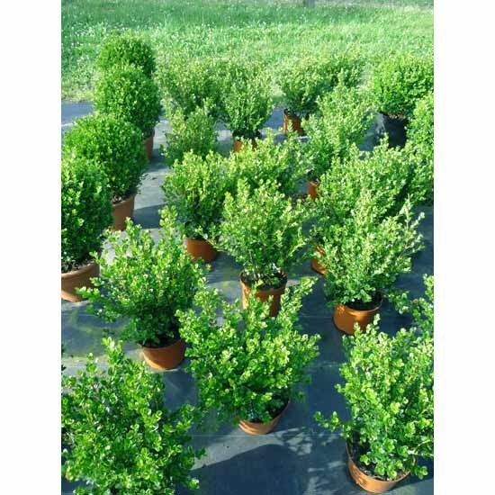 1 meter hecke buchsbaum buchs buxbaum hecken buxus mycrophylla sorte faulkner strauch str ucher. Black Bedroom Furniture Sets. Home Design Ideas