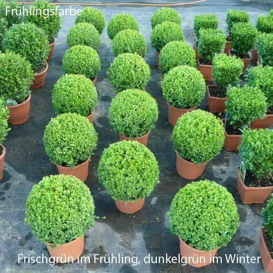 buchsbaum kugel 30 buchskugel buchs buxbaumkugel buxbaum buxus kugeln 30cm. Black Bedroom Furniture Sets. Home Design Ideas