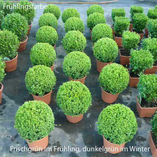 buchsbaum kugel 25 30 buchskugel buchs buxbaumkugel buxbaum buxus kugeln 30cm. Black Bedroom Furniture Sets. Home Design Ideas