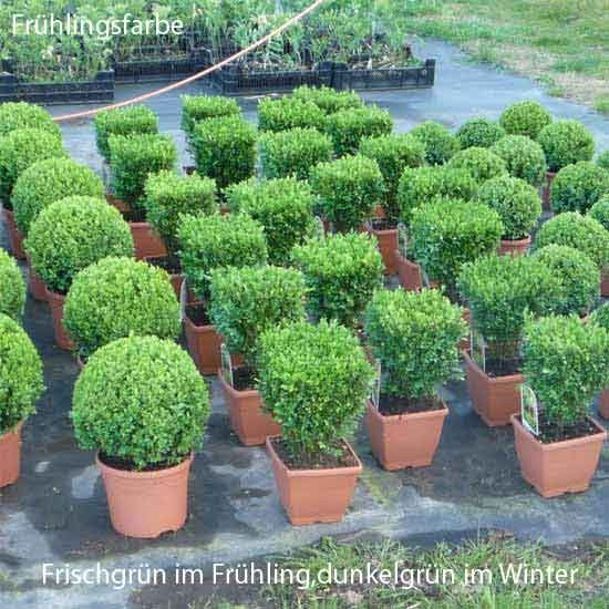 1 meter hecke buxus sempervirens 39 direkt fertig 39 h he 20 cm. Black Bedroom Furniture Sets. Home Design Ideas